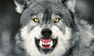 snarlinggraywolf